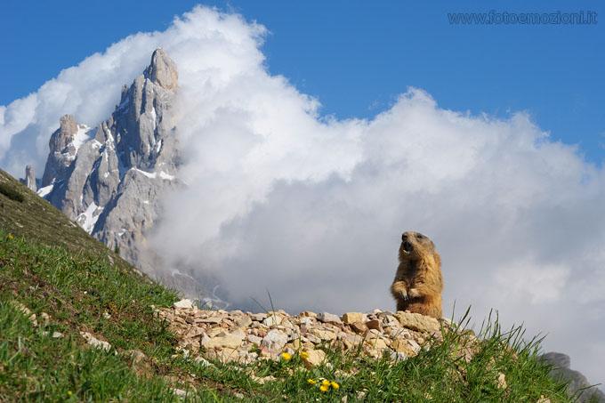 Marmotta (Marmota marmota) fotogrfata nel parco naturale di paneveggio ai piedi della pale di san martino