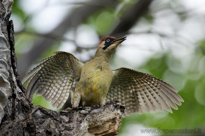 fotografia Picchio Verde (Picus viridis), atteggiamento di difesa, foto fatta in Valle di fiemme