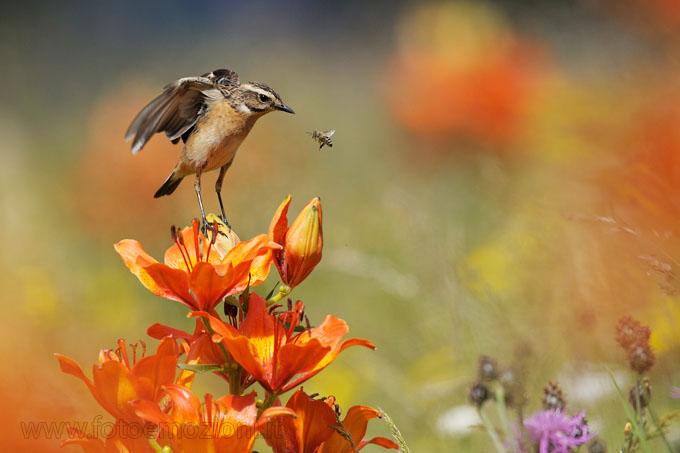Foto dal Forum Fotoemozioni.it Stiaccino (Saxicola rubetra)
