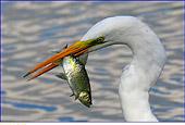 Airone bianco infilza preda, unsa scardola, foto naturalistica caccia fotografica