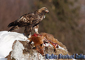 Aquila preda Volpe rossa invernale (Vulpes vulpes) fotografata in valle d'aosta, fotografia naturalistica scelta dal forum