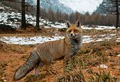 Foxi Volpe rossa invernale (Vulpes vulpes) fotografata in valle d'aosta, fotografia naturalistica scelta dal forum