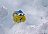 Cinciarella (Parus caeruleus) palla di piume nella neve - fotografia naturalistica della settimana