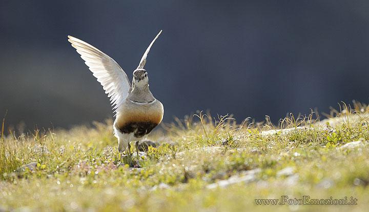 foto naturalistica della migrazione autunnale del Piviere Tortolino (Charadrius morinellus)