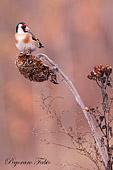 caccia fotografica uccelli Codibugnolo Aegithalos caudatus