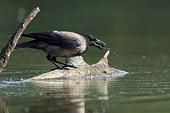 cornacchia grigia (Corvus corone cornix) caccia girini, fotonaturalistica della settimana
