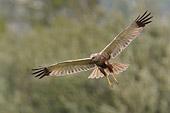 maruizio bianchi ha fotografato in volo il falco di palude