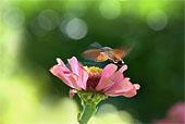 Macroglossum Stellatarum macrofotografia ravvicinata di insetto in volo