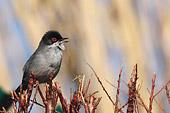 il canto dell'occhiocotto (Sylvia melanocephala)