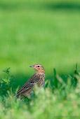 pispola golarossa (Anthus-cervinus) fotografia naturalistica cacciafotografica di uccelli