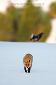 Volpe nell'arena del Gallo Forcello (Vulpes vulpes e Tetrao tetrix) fotografia naturalistica della settimana