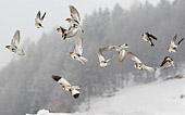 caccia fotografica allo Zigolo delle nevi (Plectrophenax nivalis)  in volo fotografia naturalistica di uccelli