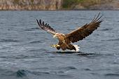 aquila di mare (Haliaeetus albicilla) caccia pesci nel mare nordico finlandese