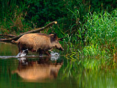 scrofa di cinghiale (Sus scrofa Linnaeus) attraversa il lago con i piccoli