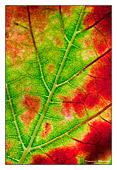 colori autunnali, particolare di foglia e delle sue ventaure