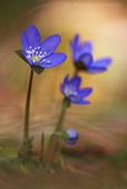 erba della trinita macrofotografia di fiori controluce