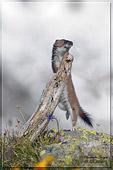 ermellino che balla (Mustela erminea) ripresa naturalistica della settimana dal forum naturalistico