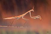foto ravvicinata di una mantide a caccia di insetti