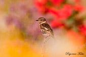 pegoraro fabio ha fotografato questo uccello, un saltimpalo femmina (Saxicola torquata), in un prato fiorito