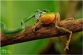 foto naturalistica di serpente che cerca di mangiare rana