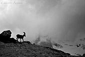 Stambecco nella tempesta foto naturalistica di Gio83