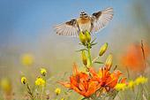 Stiaccino (Saxicola rubetra) caccia fotografica in volo